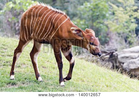 A shot of a young bongo (antelope)