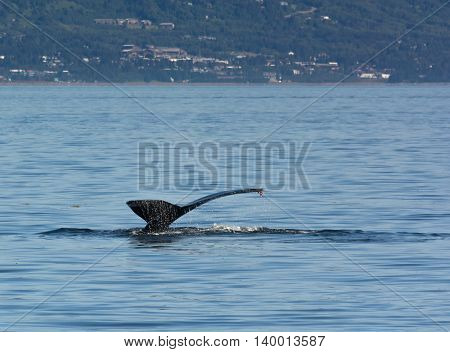 Off Homer Alaska only the tail is left of a diving humpback whale