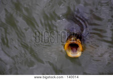 Fish Gulping For Food