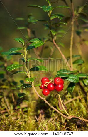 Red lingonberries (Vaccinium vitis-idaea) in the forest