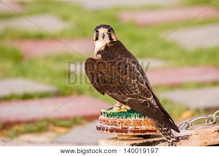 A Brown Falcon or Falco Berigora in a park in Bahrain
