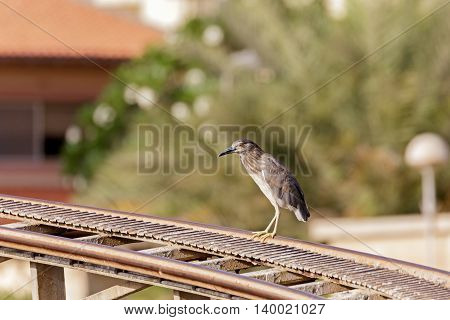 A Juvenile Black-crowned Night Heron sitting on a roller coaster rail in Bahrain