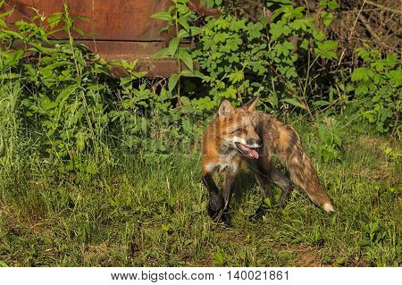 Red Fox Vixen (Vulpes vulpes) Turns Right - captive animal