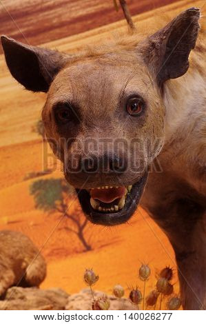 Spotted hyena portrait taxidermy wild animals theme.