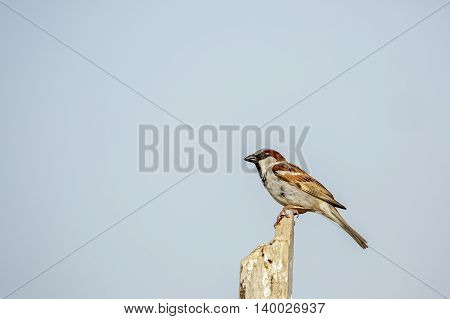 House Sparrow or Passer Domesticus perched on a broken tree branch in a farm in Bahrain
