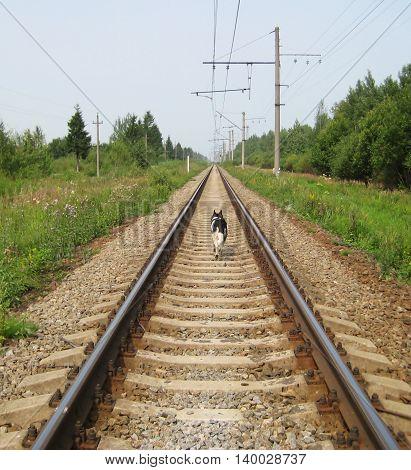 Dog walking on train rail track during summer