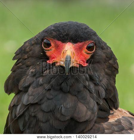 Portrait of a Bateleur Eagle, front view