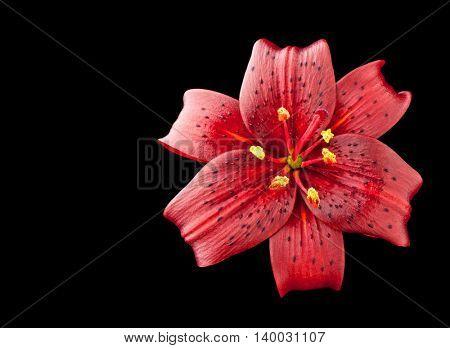 lilium flower on black background