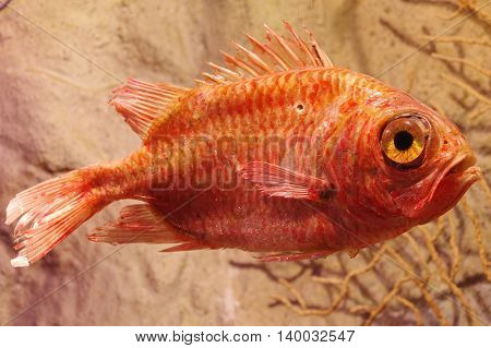 Rose fish Sebastes norvegicus animals taxidermy objects.