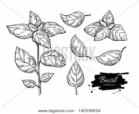 Basil vector drawing set. Isolated plant with leaves. Herbal engraved style illustration. Detailed organic product sketch. Cooking spicy ingredient