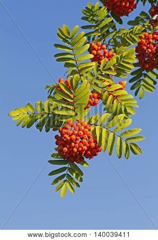 Ripe rowan (Sorbus aucuparia) berries in Oulu, Finland.