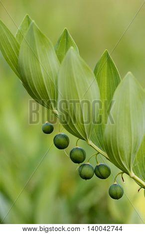 Unripe berries of Angular Solomon's seal also known as Scented Solomon's seal (Polygonatum odoratum) in Turku in Finland.