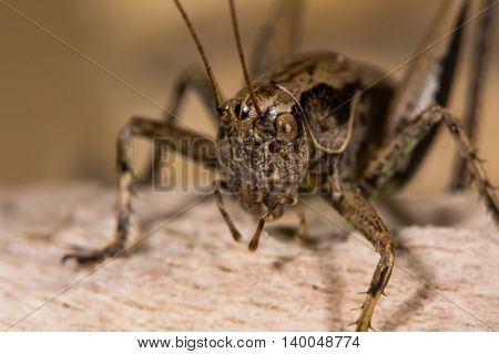 Dark bush cricket (Pholidoptera griseoaptera) close up. Bush-cricket in the family Tettigoniidae showing head compound eyes and palps