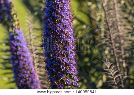 isolated pride of Madeira flowers - Echium candicans
