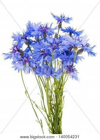 knapweed  bluett flower on a white background