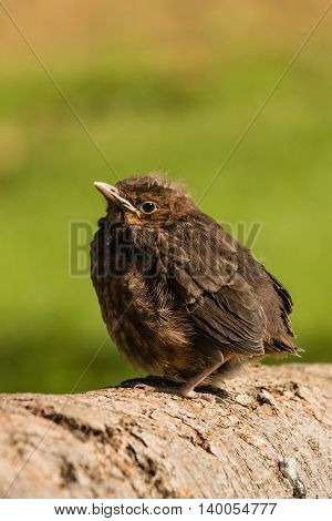closeup of fledgling blackbird basking on tree trunk