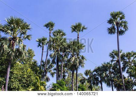 Sugar palms Tree with blue sky , nature