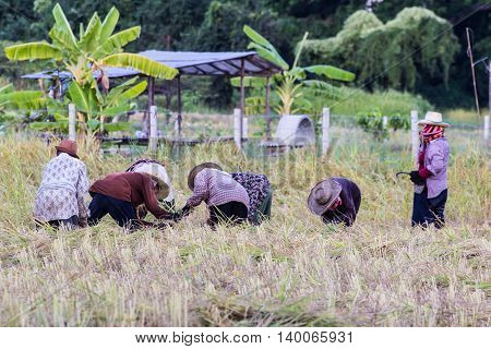 Thai farmer Harvest rice in field , agriculture