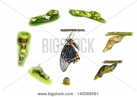 Life Cycle Of Male Great Mormon Butterfly