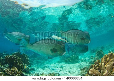 Bumphead Parrotfish: fish coral reef