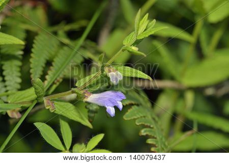 Skullcap - Scutellaria galericulata Small Blue Waterside Flower