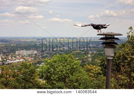 Pigeon in flight. Bird on background of vast panorama of city and trees. Summer sunny landscape