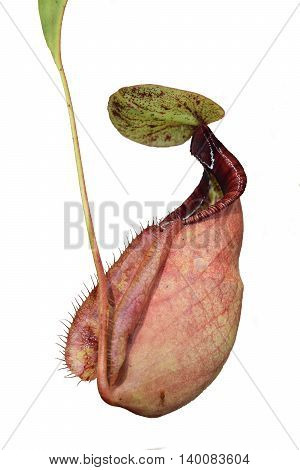isolate beautiful pitcher carnivorous plant pot Nepenthes in Vietnam with exotic pitcher