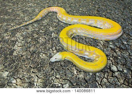 Gold PythonReticulated python (Python reticulatus) on ground
