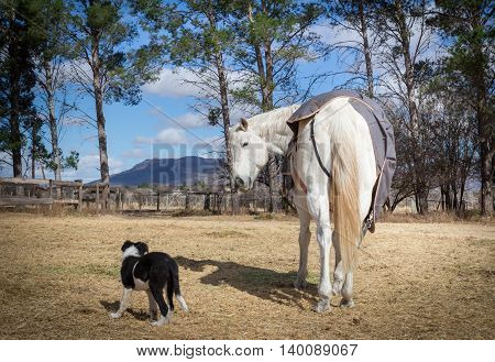 Irritated white horse in paddock being interupted eating by teasing Border Collie puppy