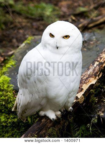 Snow_Owl