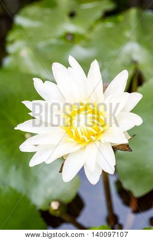 close up white lotus flower in fish pond