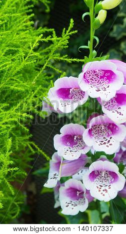 Beautiful Foxglove flowers in a botanical garden