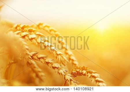 Wheat closeup. Wheat field on sun. Background of ripening ears of wheat.