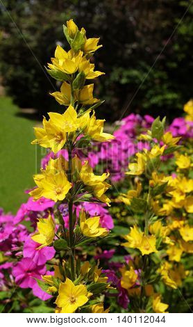 Yellow Loosestrife Grows Against A Colourful Floweres