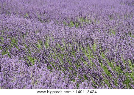 Bright purple lavender field in Provence, France