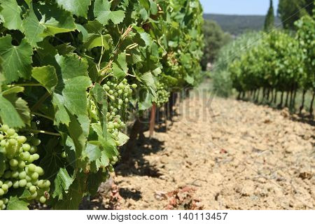 Vineyard with green grapes growing in summertime in France