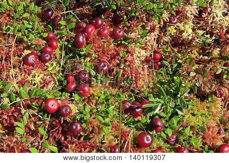 Wild red cranberries growing in swamp in autumn.