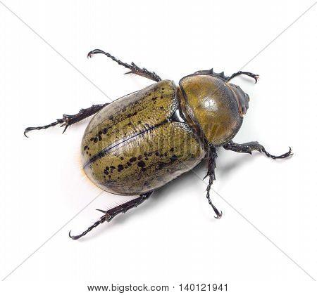 Eastern Hercules Beetle (Dynastes tityus) on a white background