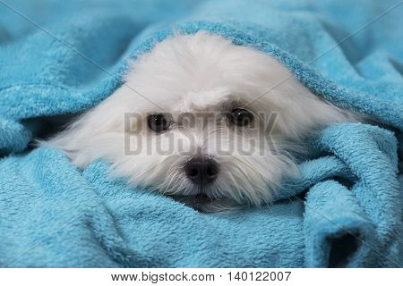 Adorable maltese dog wrapped on a blue blanket
