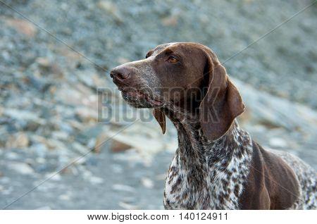 kurtshaar pedigree dog on a background of pebbles and rocky terrain