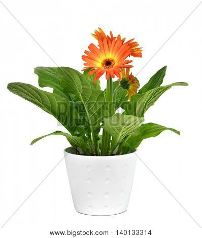 closeup of an orange gerbera daisy plant in a white ceramic plant pot, on a white background