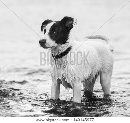Watchdog standing in water on the seashore. Black-and-wtite square outdoors image.