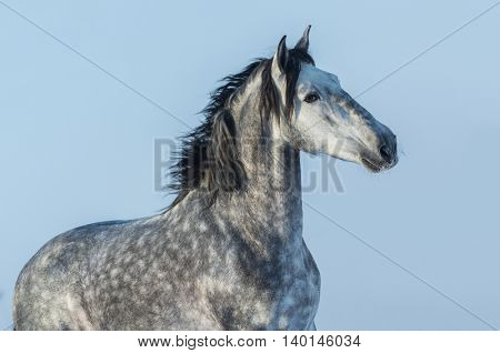Gray Andalusian stallion. Portrait of Spanish horse on blue sky.