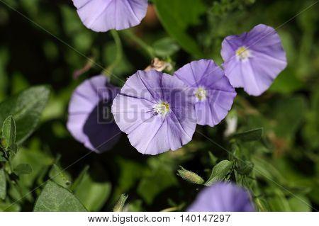 Flowers of a blue rock bindweed (Convolvulus sabatius)