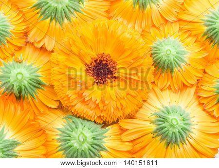 Orange calendula or marigold flower heads. Flower background.