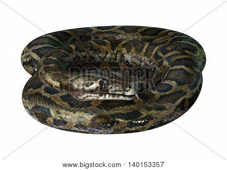 3D Rendering Burmese Python On White