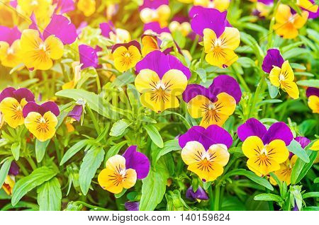 Summer flower nature landscape - field of orange and lilac summer pansies under soft sunlight. Shallow depth of field. Closeup summer view of blooming flowers