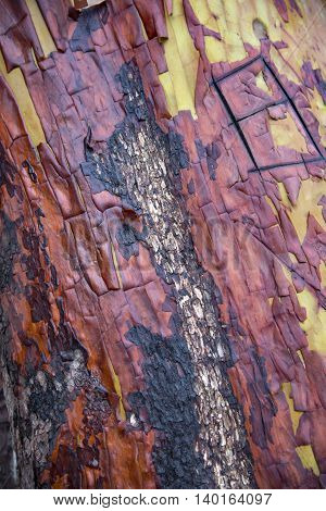Colorful textured Manzanita tree surface showing fire damage