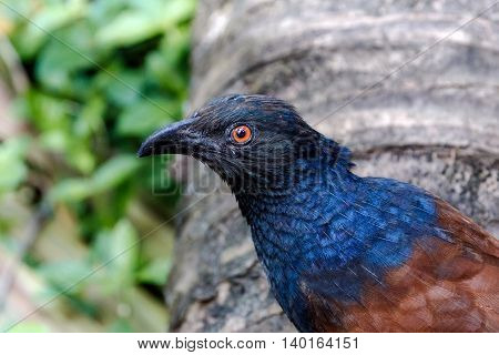 Head-shot of a Greater Coucal or Crow Pheasant (Centropus sinensis), Kerala, India