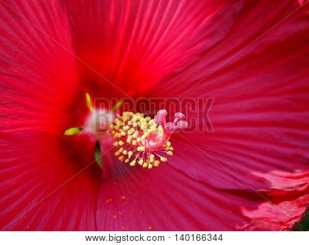 Extreme closeup into the center of a hibiscus flower blossom with macro focus on the fuzzy stigma.